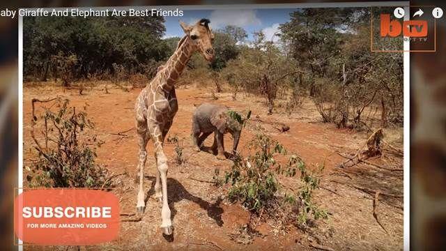 失去媽媽的小象和長頸鹿 成為「患難」手足