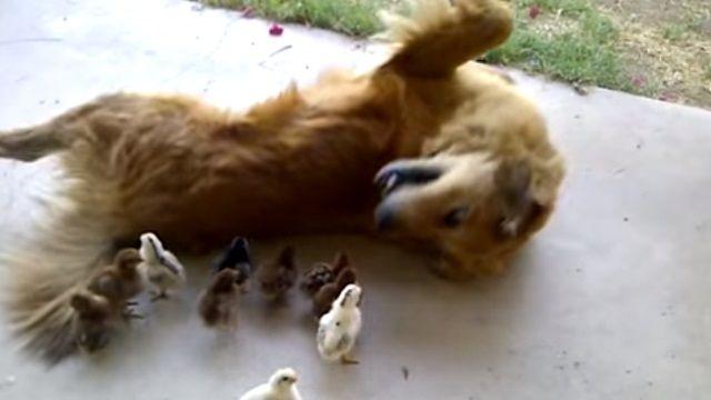 當狗遇到小雞 牠的反應讓人驚訝...