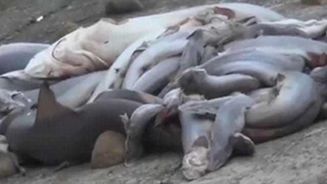 年關將近!魚翅需求量增 上百幼鯊遭割魚鰭棄屍