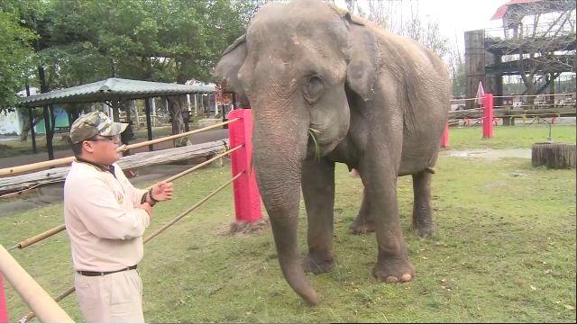 最年長亞洲象愛麗美 退休後愛和遊客互動