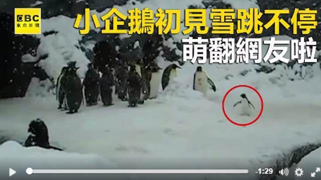 小企鵝第一次見雪 蹦蹦跳跳萌翻啦!