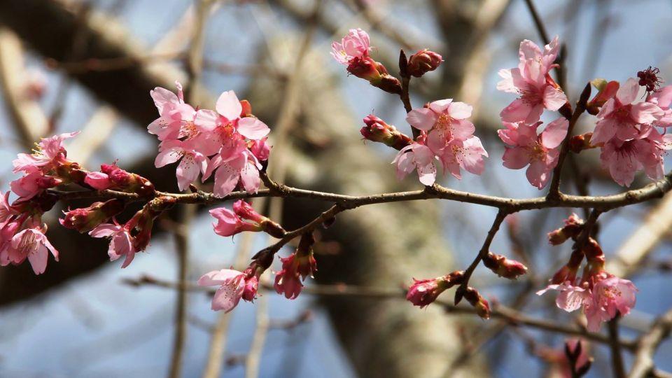 初春賞櫻趣 6大熱點必遊