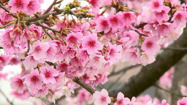 平地櫻花林! 內湖樂活公園花開了 賞櫻新景點