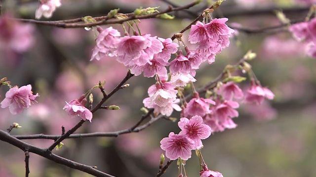 不只有吉野櫻 天元宮三色櫻現正盛開