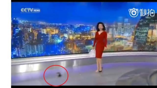 鞋跟斷了! 央視女主播赤腳淡定播報