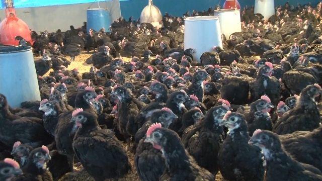 寒流來勢洶洶! 雞農加裝瓦斯燈替小雞取暖