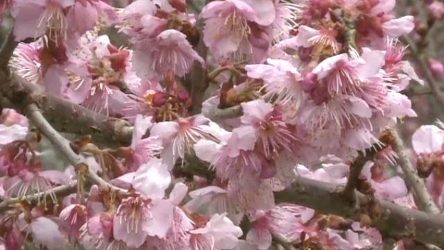 武陵農場櫻花季開跑 滿山「紅粉佳人」美翻