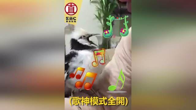 「別阻止偶!」胖胖鳥就是愛唱歌