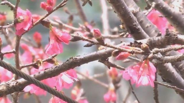好美! 屏東霧台櫻花盛開 228連假最漂亮
