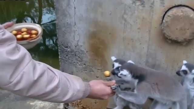 動物也應景 狐猴、小老虎大啖鮮肉湯圓