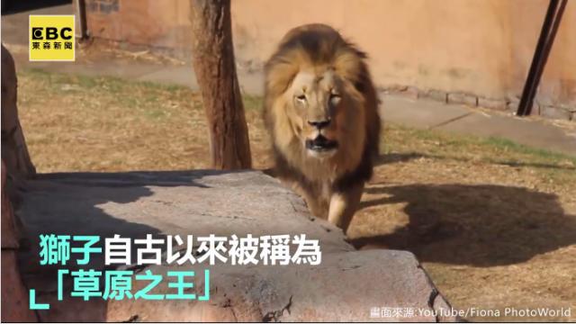 威猛獅王搭訕母獅 卻換來無情的對待