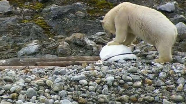 北極熊識破攝影機 下一秒竟這樣做...