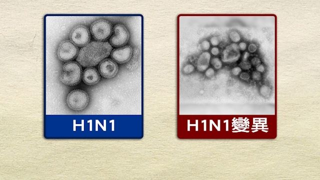 H1N1子代變異病毒 祖先曾釀2009年大流行