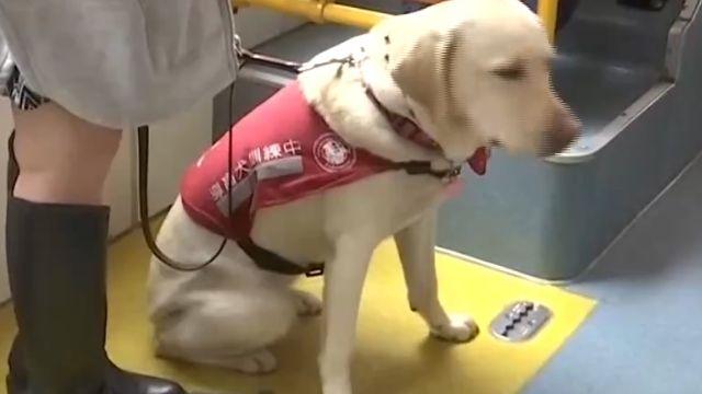 導盲犬上公車訓練 司機暴怒咆哮「車罷駛」