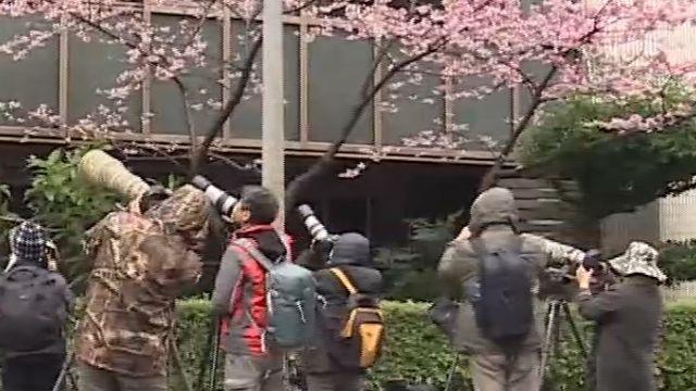路霸? 櫻花盛開之際 民眾占路攝影