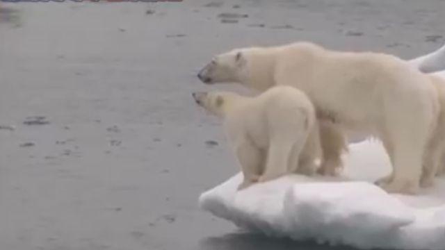冰層溶化食物難找 北極熊殘殺幼熊
