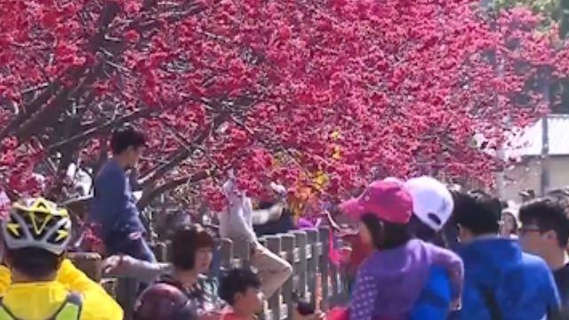 后里泰安社區櫻花開太美麗 日吸2萬遊客