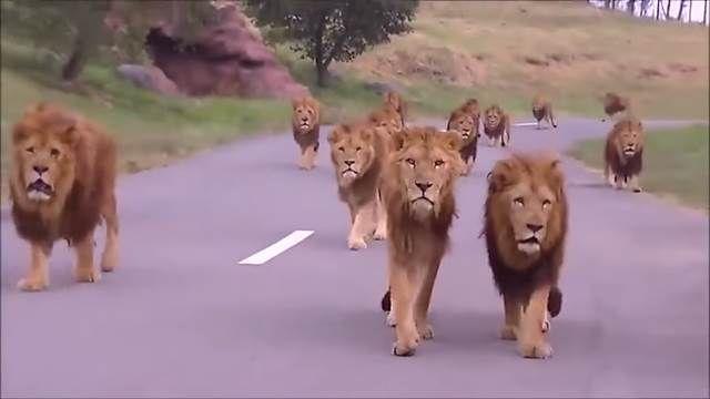 角頭爭地? 萬獸之王群體逼近原因竟是…