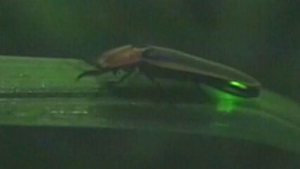 「螢」光閃爍! 嘉義瑞里山 夜晚出現大量螢火蟲