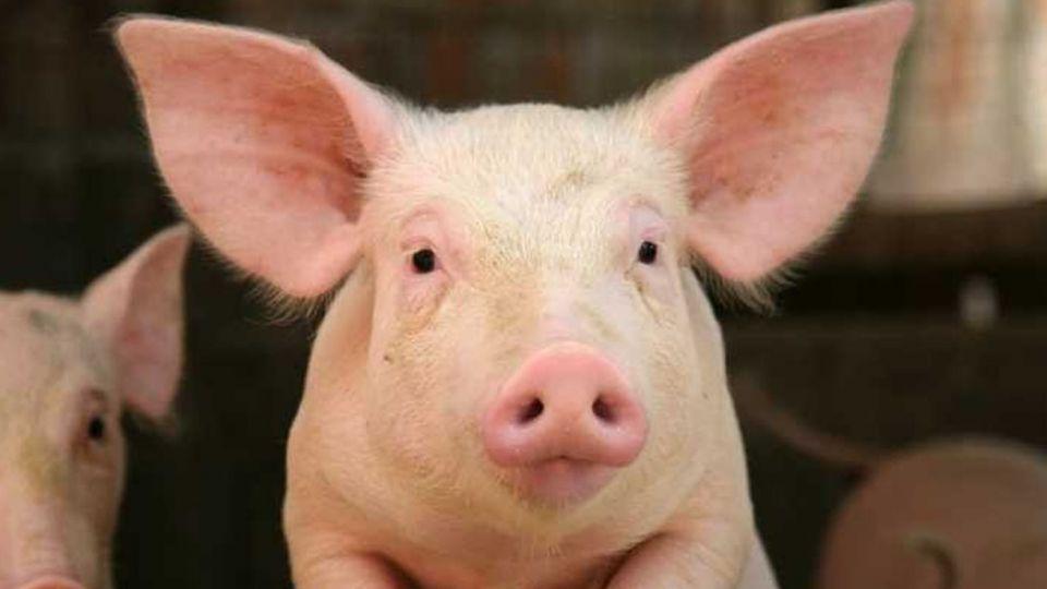 豬心在狒狒體內活945天 未來可望植入人體