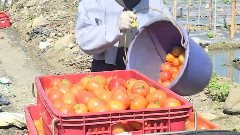氣候影響! 牛蕃茄「貴鬆鬆」 價格漲五倍