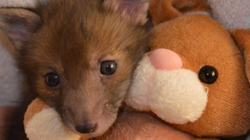 【影片】真實版《動物方程式》 小狐狸萌抱好朋友