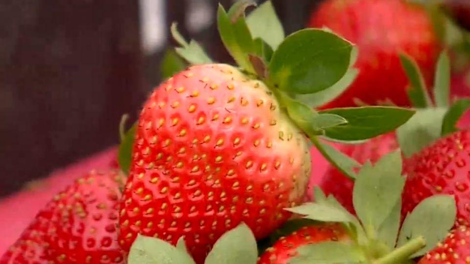 中醫理念種草莓 不當「藥罐子」得金牌