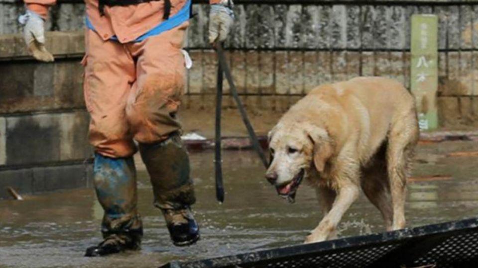 一生懸命!搜救犬腳踩碎瓦 淌血救命