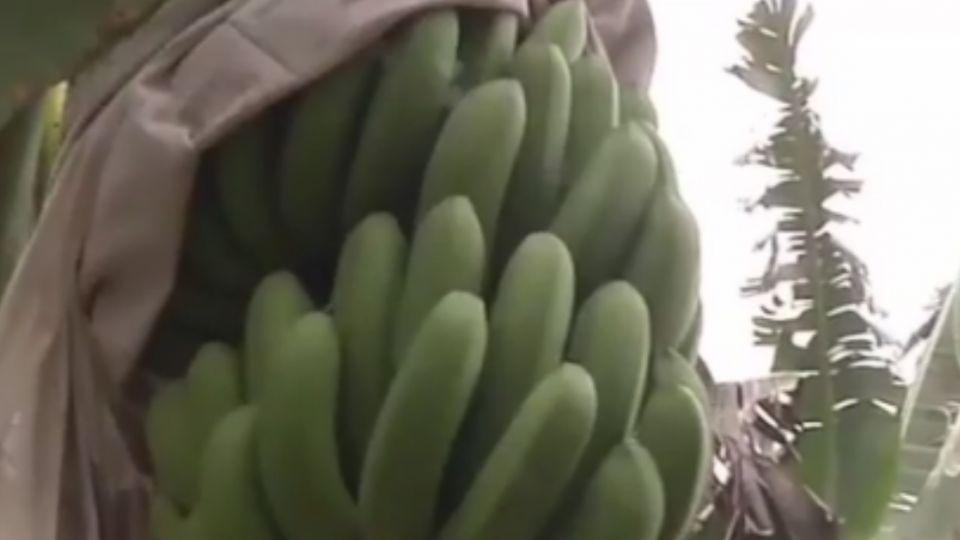 香蕉貴森森! 裝監視器護蕉園 拍到割蕉賊