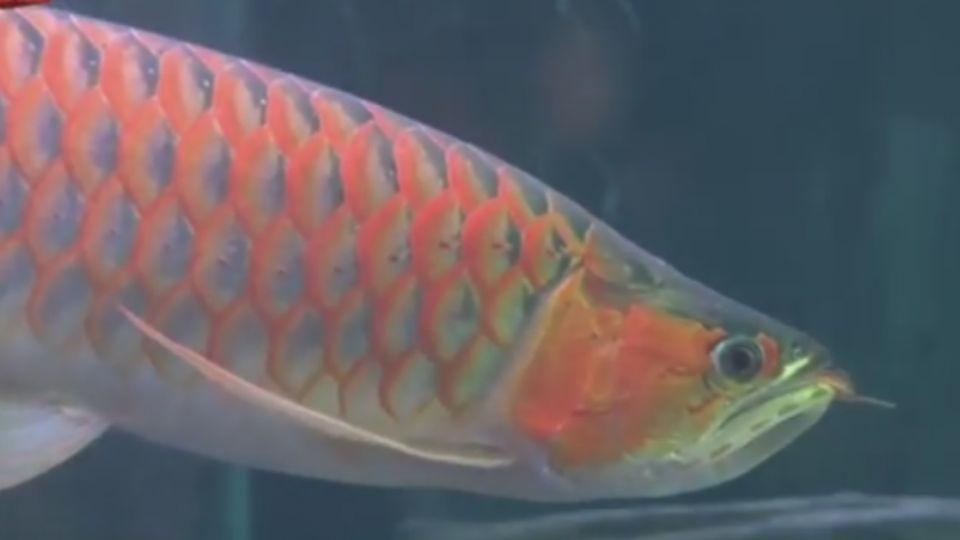 買18萬紅龍疑害死整缸魚 找人埋伏痛毆賣家