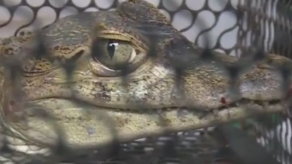 嚇壞人! 義大世界捕獲活生生鱷魚