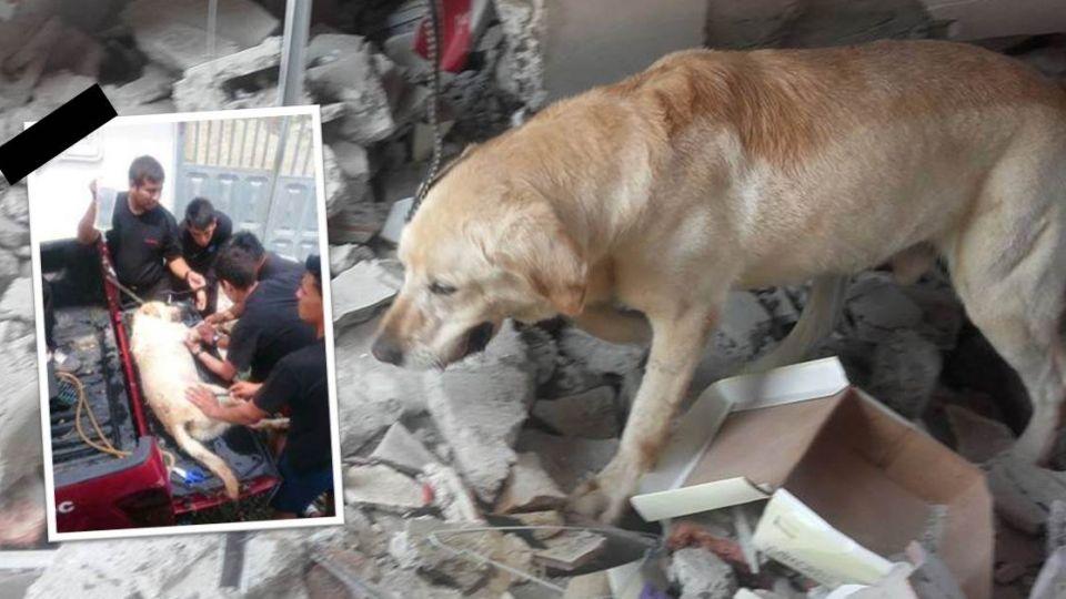 堅持到底!厄瓜多強震救出7人後 搜救犬脫水殉職