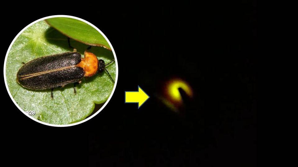 夜裡小精靈!「螢火蟲」現身大安森林公園