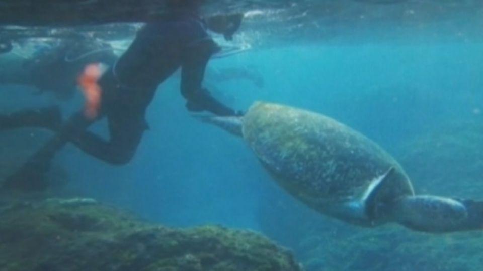 「放開你的手」 遊客小琉球浮潛 亂摸綠蠵龜