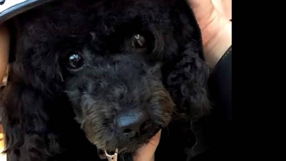 可惡!黑貴賓遭「亂棒打死」暴怒男回:狗比人重要嗎?
