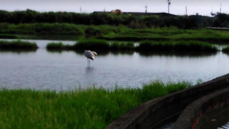 【影片】只是去送客!小白鶴返濕地像「回家」一樣狂「伸懶腰」