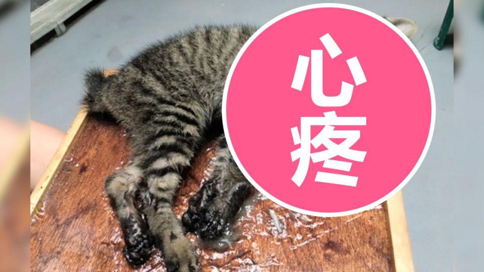 黏鼠板放小魚當誘因 竟黏到3月大虎斑貓