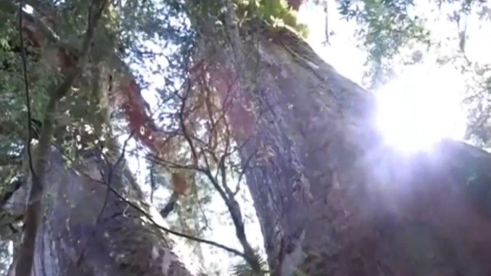 雙鬼湖保護區 發現上百顆紅檜巨木群