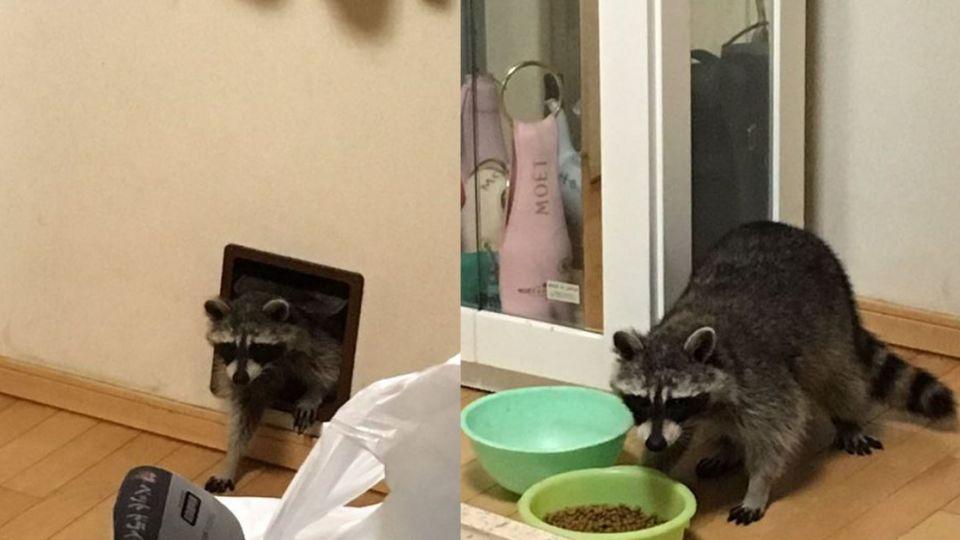 【影片】客廳怪聲好嚇人 驚見胖浣熊偷吃貓飼料