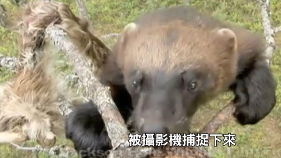 美150年首見狼獾 即遭牧場主人獵殺