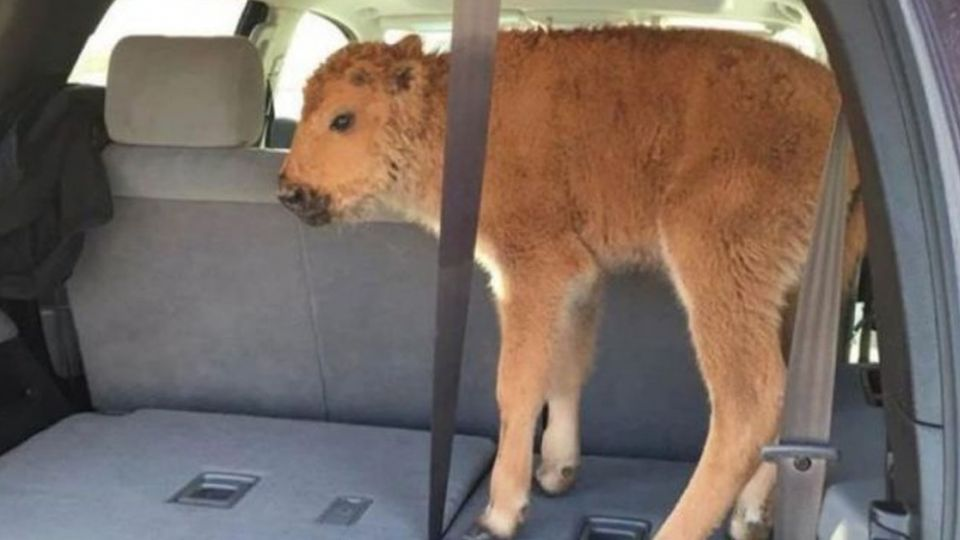 遊客好心替小牛取暖 反害牠被「安樂死」