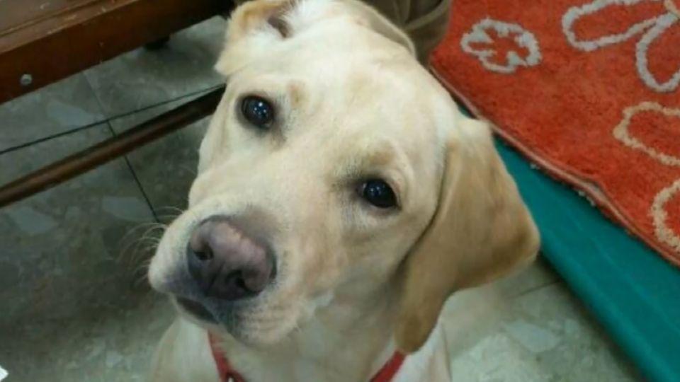 蔡英文第一寵物 3隻退役導盲犬入住總統官邸