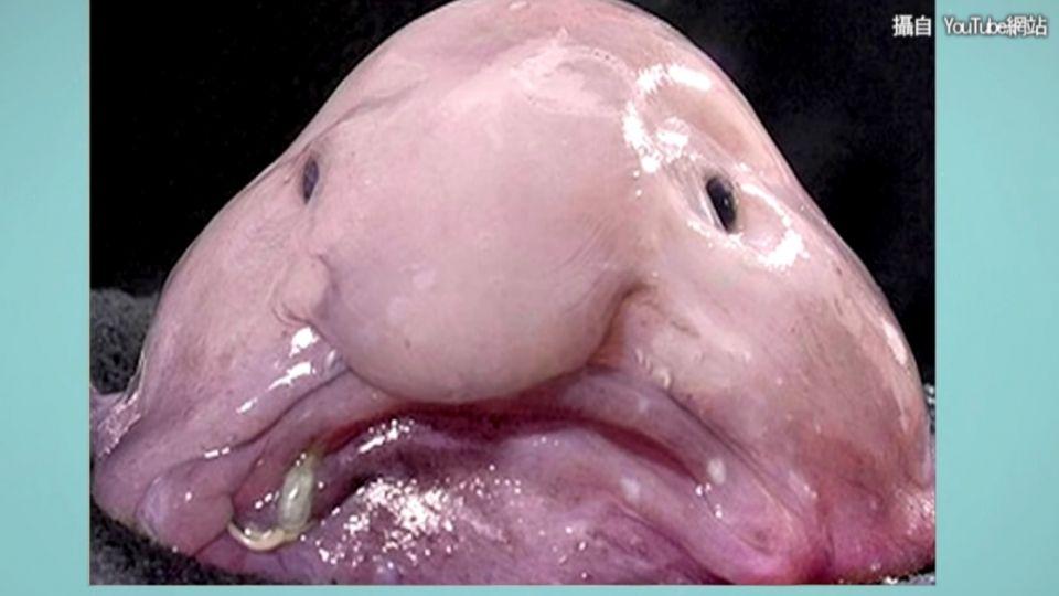 「航海王」裡的它上榜了! 列最醜瀕危生物