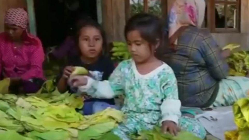 【影片】最小8歲!印尼血汗童工「拿命」製菸草!
