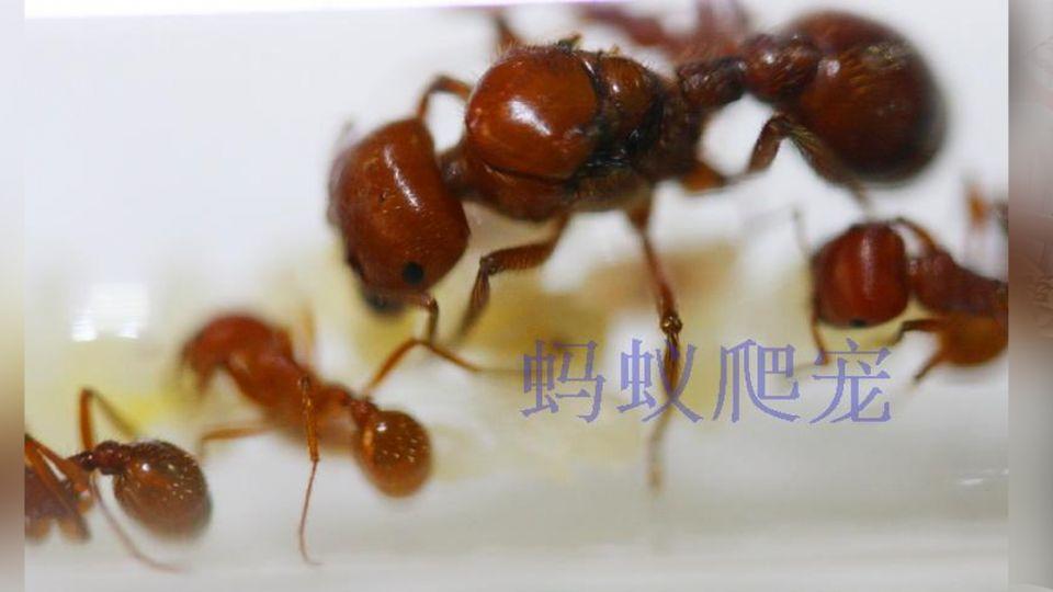 驚!大陸瘋養「寵物螞蟻」 1隻要價上萬元