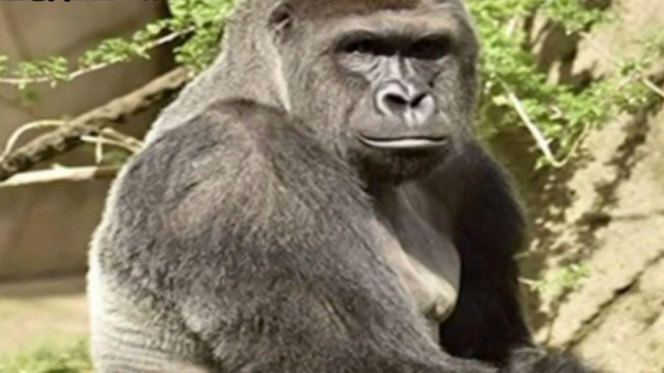 要家長「負刑事責任」 為救童殺猩猩掀抗議