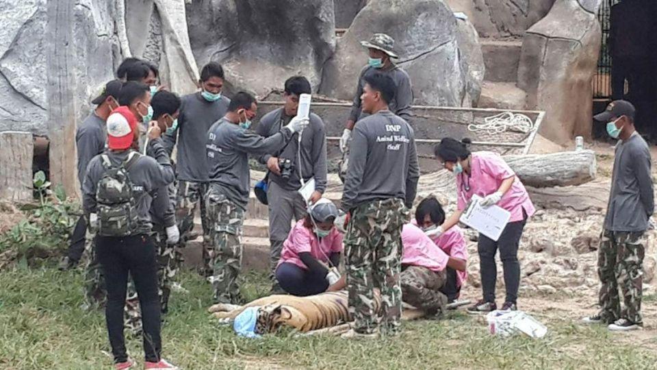 【影片】137隻「搖錢虎」年賺1.6億 泰寺廟遭控走私虐待