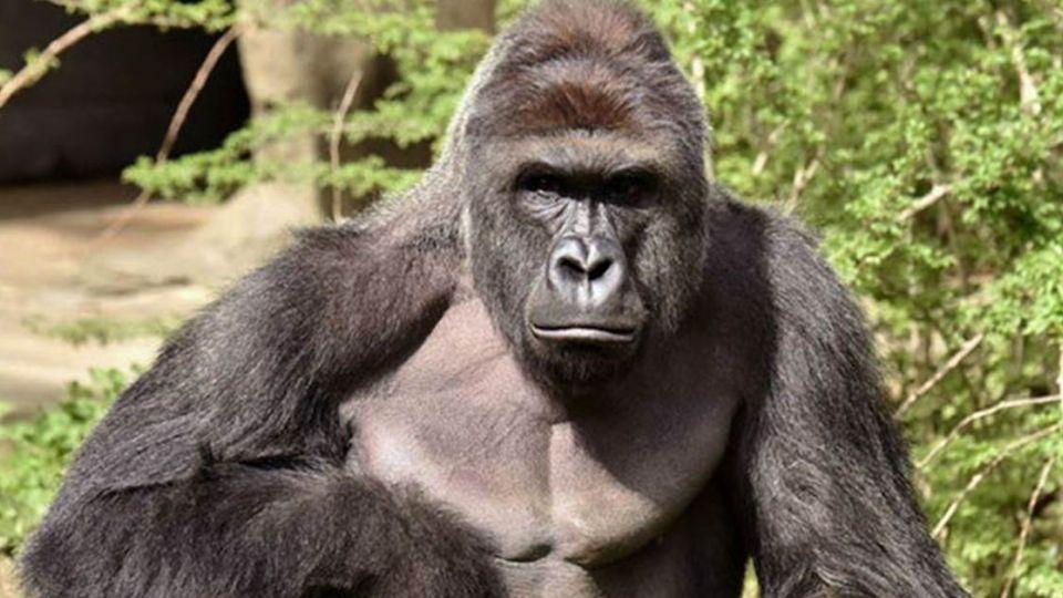 美動物園護童射殺大猩猩 珍古德:牠應該想保護男童