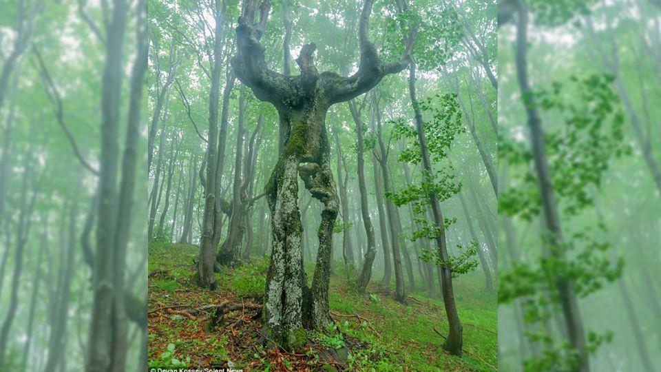 《魔戒》樹人真實版 保加利亞詭異怪樹超嚇人