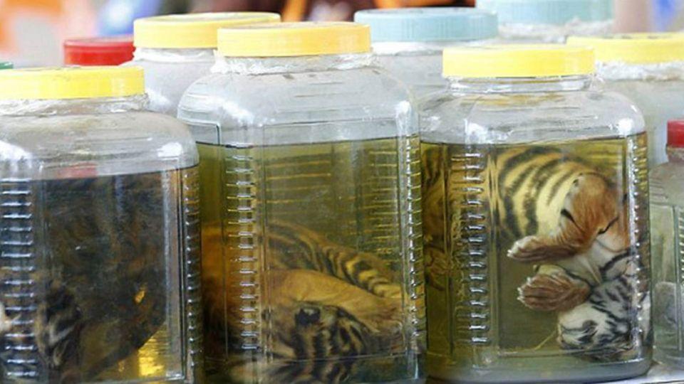 【影片】泰老虎廟「殺生鐵證」 整隻虎寶寶泡罐製藥